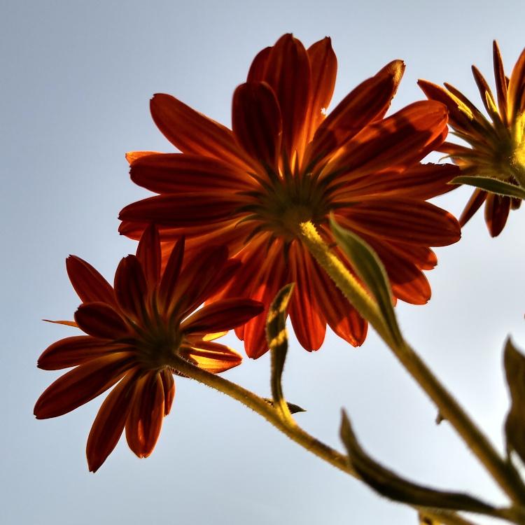 Blüten eines gelben Kapkörbchens von unten