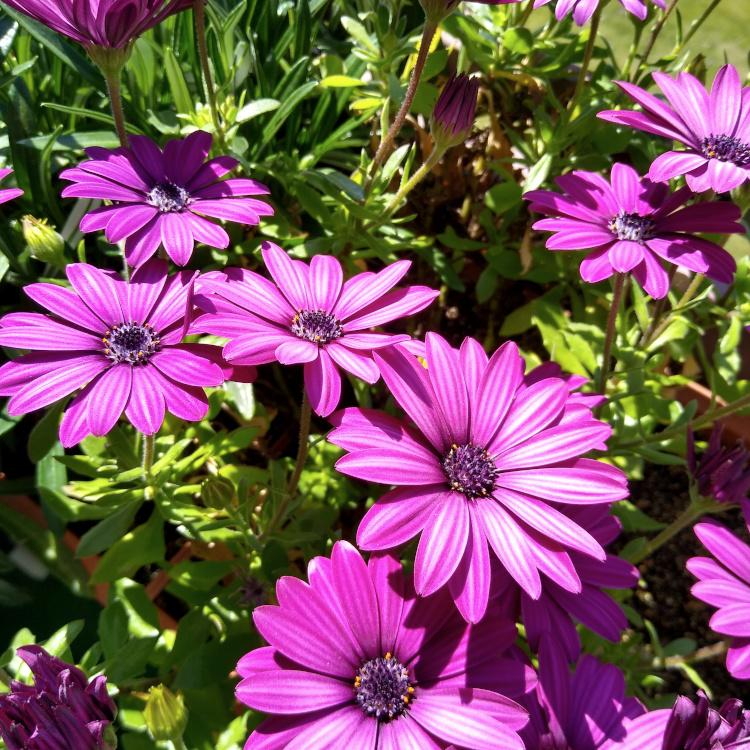 Blüten violetter Kapkörbchen