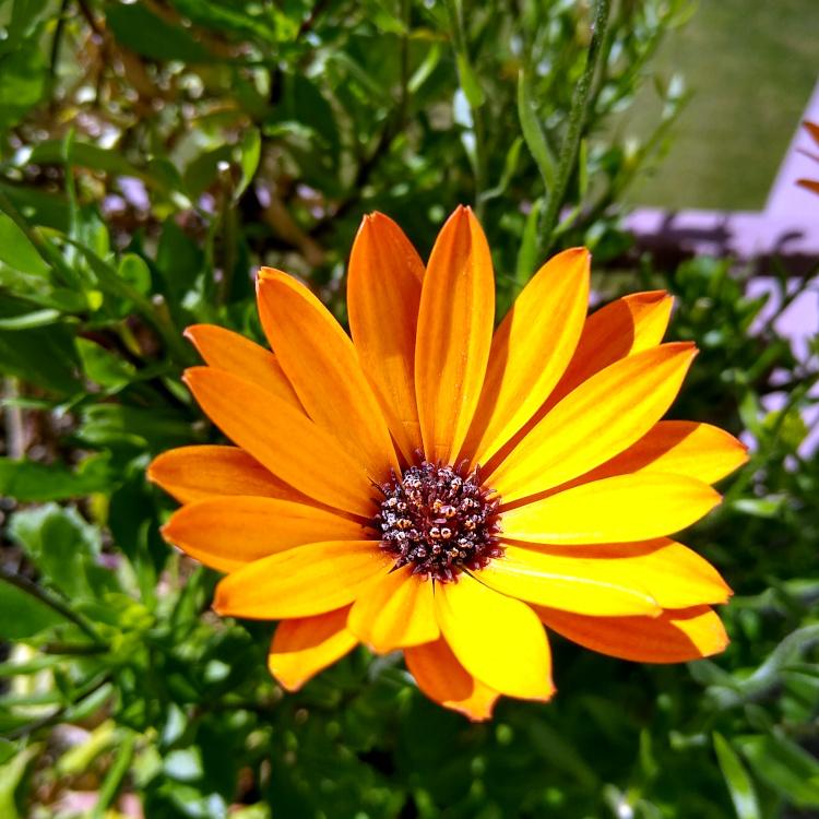 Blüte eines gelben Kapkörbchens