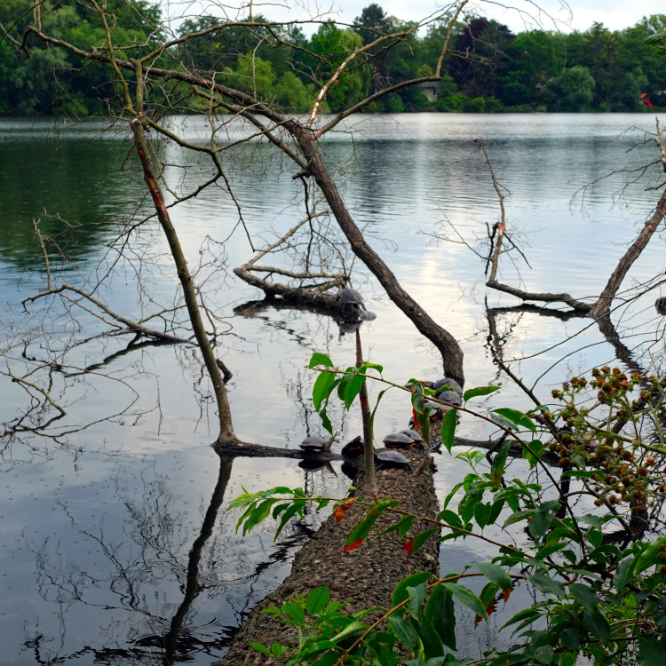Schildkröten im Wambachsee