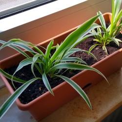 Foto zu Kurkuma, Pflanze, Schule, Sommerferien, Grünlilie, Fensterbank
