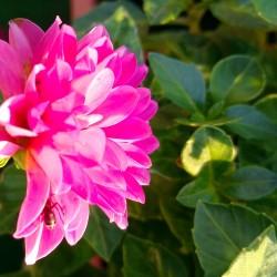 Foto zu Insekt, Dahlie, Regen, Balkon, Pflanze, Blume, Blüte