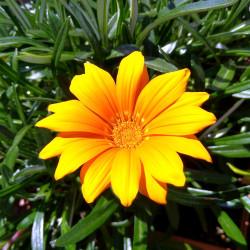 Foto zu Balkon, Blume, Gazanie, Pflanze, Afrika, Blüte