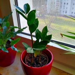 Foto zu Pflanze, Zamioculcas, Glücksfeder, Blatt, Rhizom, Fensterbank